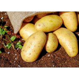 """Pommes de terre """"Ditta""""demeter"""